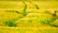 Fresh Crop with tracks on it Royalty Free Stock Photo