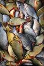 Fresh crucian  fish on a shop counter. Crucian Royalty Free Stock Image