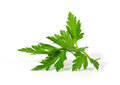 Fresh curly leaf parsley Royalty Free Stock Photography