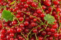 Fresh currant red fruit in a pile Royalty Free Stock Photo
