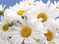 Fresh-cut daisies Royalty Free Stock Image