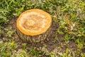 Fresh cut stump of grab apple tree Royalty Free Stock Photo