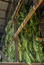 Fresh cut tobacco Royalty Free Stock Photo