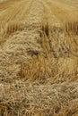 Fresh cut wheat Royalty Free Stock Photo
