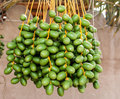 Fresh dates growing on a date palm not quite ripe Royalty Free Stock Images