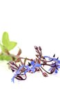 Fresh delicious blue Borage Royalty Free Stock Photo