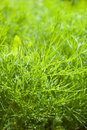 Fresh dill herb.close up Royalty Free Stock Photo