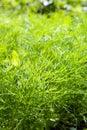 Fresh dill herb .close up .shallow DOF Royalty Free Stock Photo