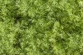 Fresh dill herb close up. Royalty Free Stock Photo
