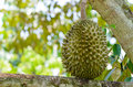The fresh durian on tree in orchard Royalty Free Stock Photo