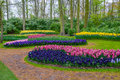 Fresh early spring pink, purple, white hyacinth bulbs. Flowerbed with hyacinths in Keukenhof park, Lisse, Holland, Netherlands Royalty Free Stock Photo
