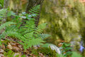 Fresh early summer ferns growing along a creek Royalty Free Stock Photo