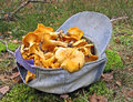Fresh edible yellow chanterelle heap in blue cap, Stock Photo