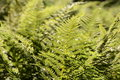 Fresh fern a beautiful in sunlight Royalty Free Stock Photos