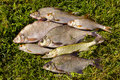 Fresh fish on the grass Stock Images