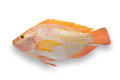 Fresh fish isolated white Royalty Free Stock Images