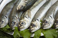 Fresh fish mackerel on tray and lettuce Stock Photography