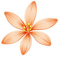 A fresh five petal orange flower illustration of on white background Stock Image