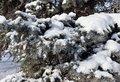 Fresh fluffy snow on fir branches in Sunny winter morning