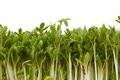 Fresh garden cress Royalty Free Stock Photo