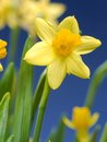 Fresh garden daffodils over blue sky Stock Photography