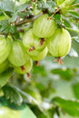 Fresh gooseberries on a branch Royalty Free Stock Photo