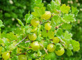 Fresh gooseberries on white Stock Image