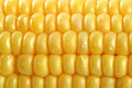 Fresh grains of corn and dew Stock Photos