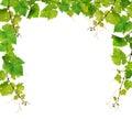 Fresh grapevine border Royalty Free Stock Photo