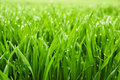 Fresh grass with dew drops Royalty Free Stock Images