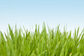 Fresh grass with dew drops on the light blue background Stock Photo