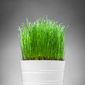 Fresh grass in white pot Stock Photography