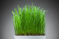 Fresh grass in white pot Royalty Free Stock Image