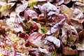 Fresh grean and red head lettuce salad macro closeup Royalty Free Stock Photography