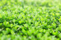 Fresh greeen clover in early spring Royalty Free Stock Images