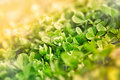 Fresh greeen spring clover in early Stock Photo