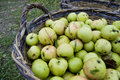 Fresh green apples in basket Royalty Free Stock Photo