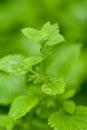 Fresh green aromatic mint lemon balm peppermint macro closeup garden summer Royalty Free Stock Photos
