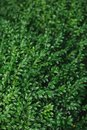 Green background of boxwood leaves Royalty Free Stock Photo