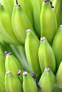 Fresh green bananas Stock Image