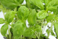 Fresh green basil closeup of Royalty Free Stock Images