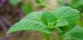 Fresh green basil in garden Royalty Free Stock Photo