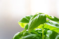 Fresh green basil leaves Royalty Free Stock Photo