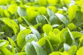 Fresh green bok choy chinese cabbage in a field Royalty Free Stock Photos