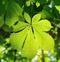 Fresh green chestnut leaf Royalty Free Stock Photo