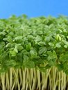 Fresh green cress Royalty Free Stock Image