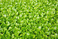 Fresh green cress closeup photo Stock Photo