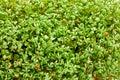 Fresh green cress salad sprouts, growing watercress salad Royalty Free Stock Photo
