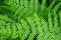 Fresh green fern leaves Royalty Free Stock Photos