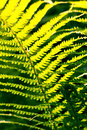 Fresh green fern leaves nature background in the garden Stock Image